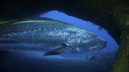 Meagre (Argyrosomus regius)  Head detail inside underwater cave. Composite image. Portugal.