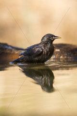Spotless starling (Sturnus unicolor) bathing  Cordoba  Andalucia  Spain