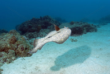 Flounder (Bothus sp) ) swimming above the seabed  Mauritius  Indian Ocean