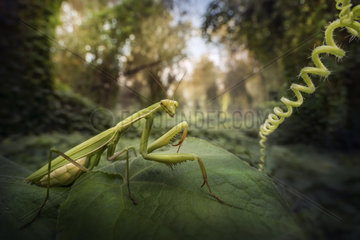 Praying mantis (Mantis religiosa) in a forest near the Po river  Luzzara  Reggio Emilia  northern Italy