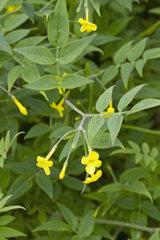 Wallich's jasmine (Jasminum humile f. wallichianum)