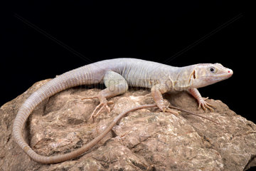Jayakar?s Oman lizard (Omanosaura jayakari) on black background
