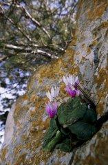 Wavy Cyclamen flowers on rock Sardinia Italy