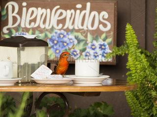 Flame-colored Tanager (Piranga bidentata)  male on coffee-shop table  Chiriquí  Panama  March
