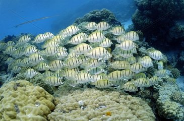 School of Convict surgeonfishes Tuamotu French Polynesia