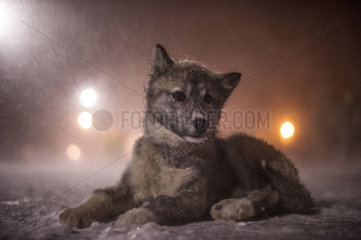 Puppy Canadian Eskimo Dog waiting in the blizzard of the night  Churchill  Manitoba  Canada