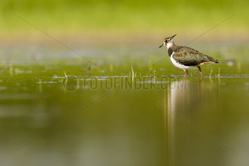 Northern Lapwing (Vanellus vanellus) walking in water  Dombes  France