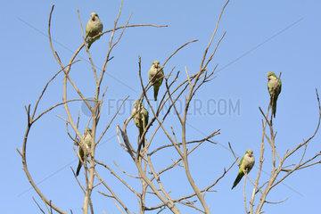 Monk Parakeet (Myiopsitta monachus) group on a tree  introduced species in Chile  Valparaiso  V Region of Valparaiso  Chile