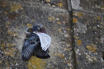 Rock Dove (Columba livia) mating  Portugal