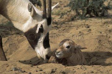 Oryx d'Arabie femelle et nouveau-né Arabie-Saoudite