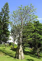 Baobab Tree  Deshaies Botanical Garden  Guadeloupe