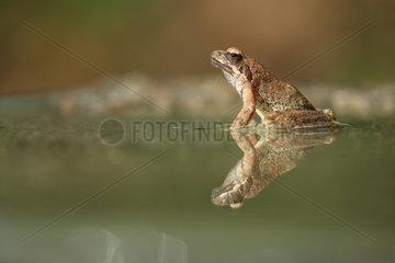 Greek frog (Rana graeca) in water  Bulgaria