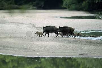 Wild boar (Sus scrofa) groupe with pigglets crossing a low arm of the Loire at dawn  Loire Valley  Burgundy  France