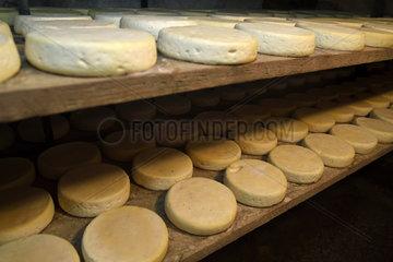 Munster AOC cheese in the cheese cellar of the farmhouse  farm Schott  Muhlbach sur Munster  Haut Rhin  Alsace  France
