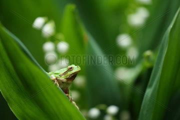 European tree frog (Hyla arborea) on lily leaf  Bulgaria