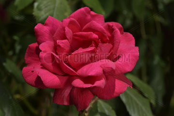 Rose Flower 'Paul's Scarlet Climber'  breeder: William Paul (UK)  1915); Group: Modern Roses - Climbing Roses with Greater Flowers (LCl)  Rose garden of L'Haÿ-les-Roses  France