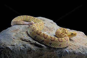 Hypomelanistic Northwestern neotropical rattlesnake (Crotalus culminatus) on rock on black background