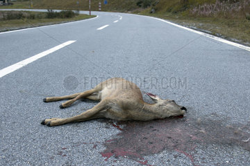 Roebuck (Capreolus capreolus) female killed by a car on a mountain road  Valais  Switzerland