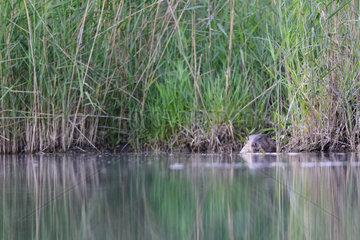 European beaver (Castor fiber) eating near a reedbed  Dead Arm of the Rhone River  Savoie  France