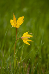 Wild Tulip (Tulipa sylvestris sylvestris) in a field in a spring afternoon  Drome  France