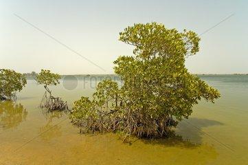 American mangrove in the Delta du Saloum