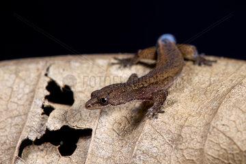 Brazilian pygmy gecko (Chatogekko amazonicus)
