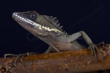Portrait of Robinson's Anglehead Lizard (Malayodracon robinsonii) on black background