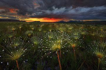 Paepalanthus flowers fireworks (Paepalanthus sp) at sunset  Chapada dos Veadeiros National Park  Brazil