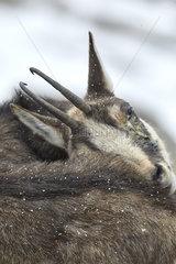 Alpine chamois (Rupicapra rupicapra) with keratoconjunctivitis  Mercantour National Park  Alps  France