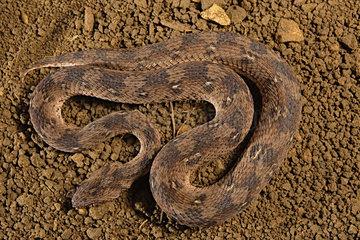 Carpet viper (Echis ocellatus)  Africa