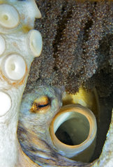 Detail of a putting egg of an octopus. Common Octopus (Octopus vulgaris). Sp: Pulpo - Fr: Poulpe. Tenerife  Islas Canarias.