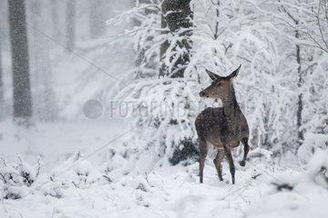 Red Deer (Cervus elaphus) hind in a snowy undergrowth  Ardennes  Belgium