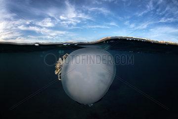 Jellyfish (Rhizostoma pulmo) with a crab (Liocarcinus vernalis)  Tyrrhenian Sea  Italia