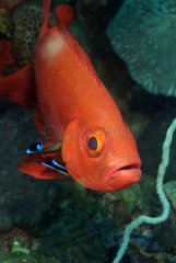 Soldierfish and Cleaner Wrasse
