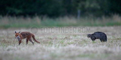 Wild cat (Felis silvestris) threatening a red fox (Vulpes vulpes crucigera). Vezelise  Lorraine  France