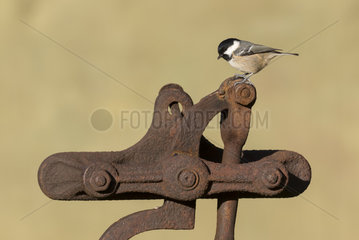 Coal tit (Periparus ater) perched on a rusty piecce of metal  England