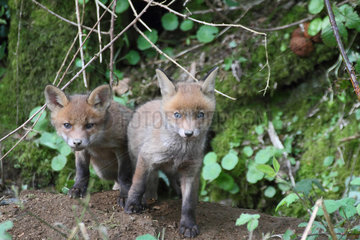 Red fox (Vulpes vulpes) youngs about 5 weeks old out of the burrow  Brittany  France