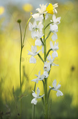 Detail of Loose-flowered Orchid (Anacamptis laxiflora) in white form in a wet meadow  Allier  Auvergne  France