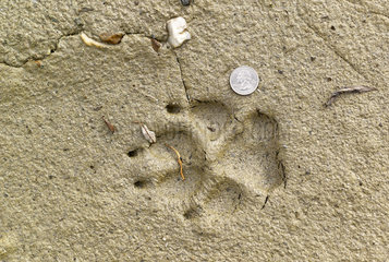 Footprint of Wolf and 1 quarter coin  Denali National Park  Alaska  USA