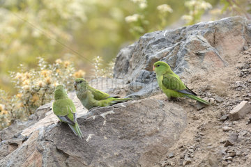 Mountain Parakeets (Psilopsiagon aurifrons) on rock  Portillo  Los Andes  V Valparaiso Region  Chile