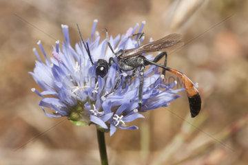 Sand Wasp (Ammophila pubescens) on Jasione flower  Regional Natural Park of Vosges du Nord  France