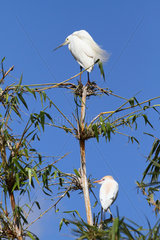 Dimorphic Egret (Egretta dimorpha) light phase and Cattle egret (Bubulcus ibis)on a branch  Madagascar