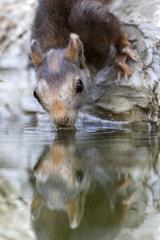 Eurasian red Squirrel (Sciurus vulgaris) drinking  Cordoba  Andalucia  Spain