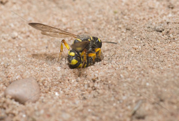 Digger Wasp (Cerceris arenaria) pricking a weevil to carry it in its gallery  Regional Natural Park of Northern Vosges  France