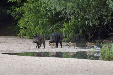 Wild boar (Sus scrofa) groupe with pigglets walking in a low arm of the Loire at dawn  Loire Valley  Burgundy  France