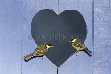 Great Tit (Parus major) perched in a heart shape hole in a blue door  England