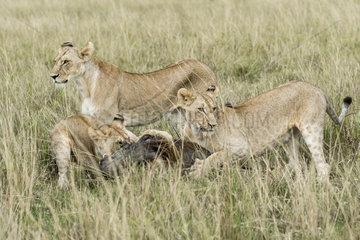 Lion (Panthera leo)  lionesses killing a Warthog  Masai-Mara Reserve  Kenya