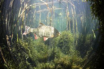 Rudd (Scardinius erythrophthalmus) swimming in reedbed  Lake Neuchâtel  Canton of Neuchâtel  Switzerland