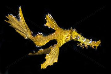Delicate Ghost Pipefish (Solenostomus leptosomus) on black background  mayotte