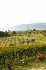 Vineyard and olive grove in Tuscany Italy